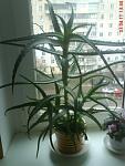 И денежное дерево комнатные растения