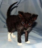Порода кошек уральский рекс. Купить котенка.
