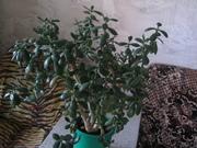 продам денежное дерево,  Одесса