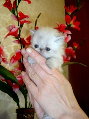 Персидские котята (колор-поинт)