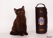 Британские котята шоколадного окраса