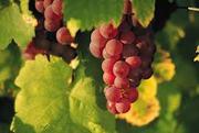 Ленты конвейерные для уборки и транспортировки  винограда