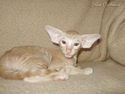 ориентальные и сиамские кошки