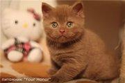 Британский котенок,  редкого окраса циннамон!