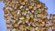 семена кукурузы,  отлично себя зарекомендовал в Одесской обл.