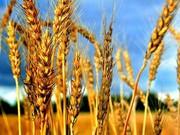 Куплю пшеницу,  ячмень,  кукурузу