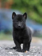 продам щенков черной немецкой овчарки