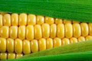 Продаем зерно - Кукуруза на экспорт 5000 - 30000 т. FOB Одесса