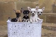 Продам чудесного щенка чихуахуа