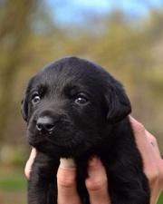 Лабрадор ретривер щенки клубные,  чёрного и шоколадного окраса.