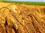 Закупка зерновых культур у производителей по всей Украине,  дорого