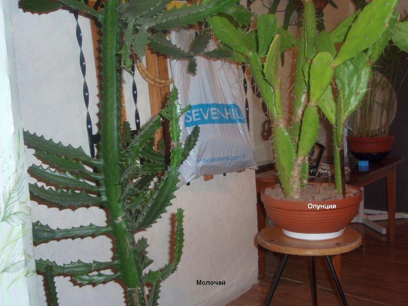 семейство кактусовых комнатные растения